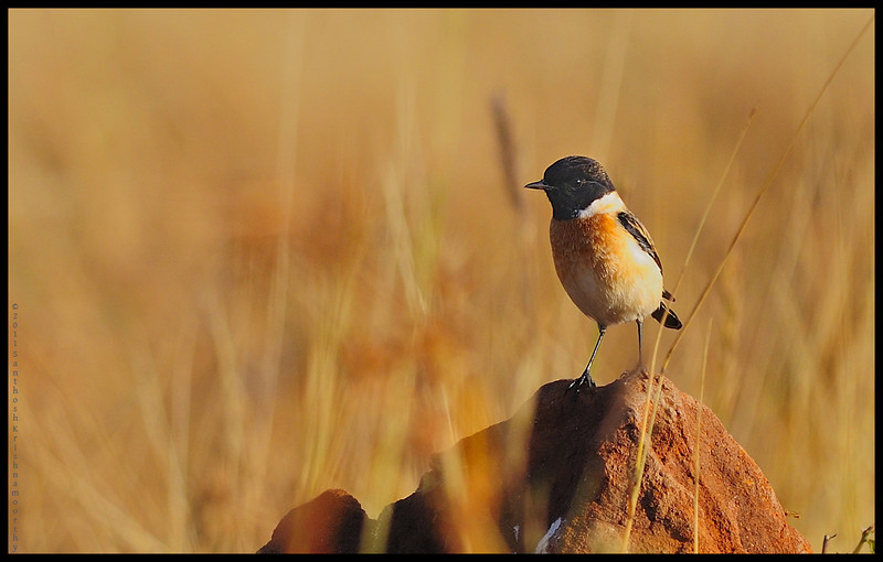 Siberian Stone Chat.....the migratory bird...which travels all the way down from Siberia to avoid the unforgiving winters over there.....