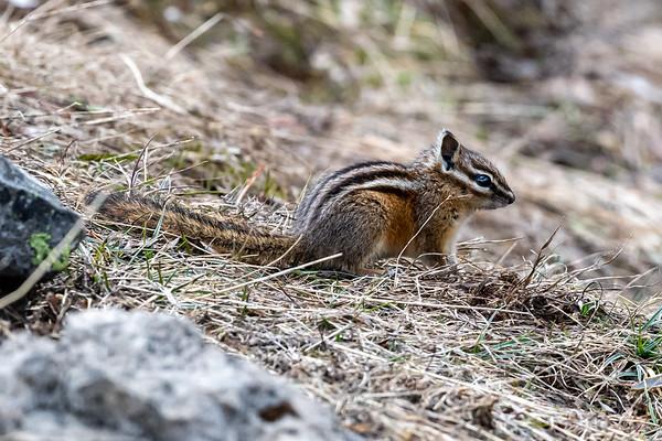 6-21-20 Golden-Mantled Squirrel