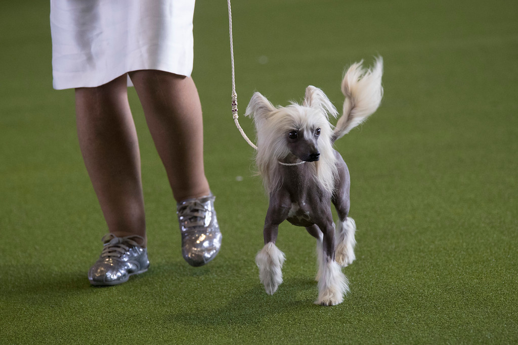 . A Chinese crested is shown in the ring during the 141st Westminster Kennel Club Dog Show, Monday, Feb. 13, 2017, in New York. (AP Photo/Mary Altaffer)
