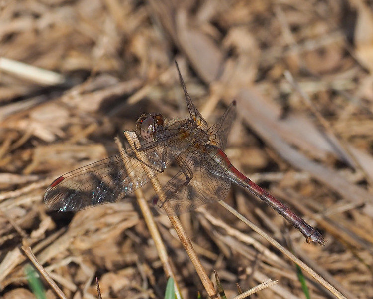 Autumn Meadowhawk, female