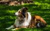 Tasha - Shetland Sheepdog
