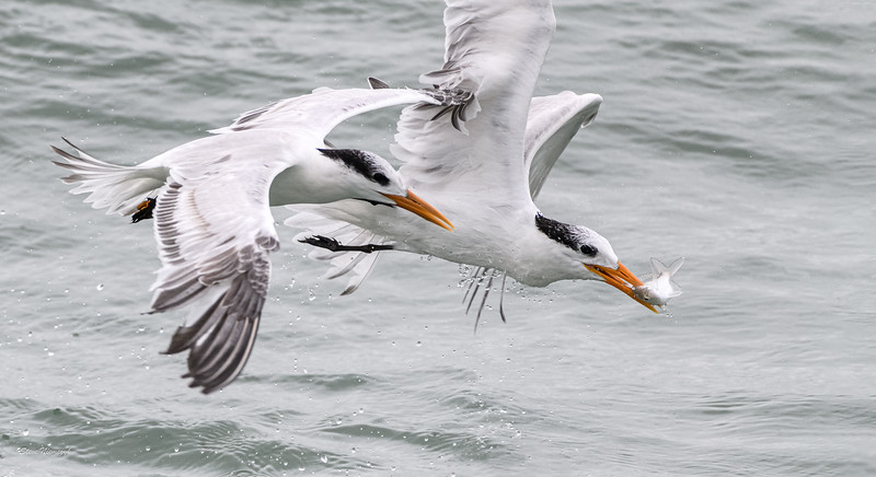 Royal Terns, one trying to steal a fish