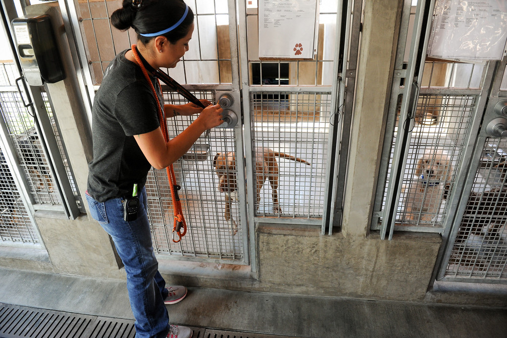 ". Adoption specialist Maria Salgado opens the door to play with ""Turtle,\"" a five-year-old pitbull-terrier mix, available for adoption at Best Friends Pet Adoption in Mission Hills, Wednesday, July 3, 2013. (Michael Owen Baker/L.A. Daily News)"