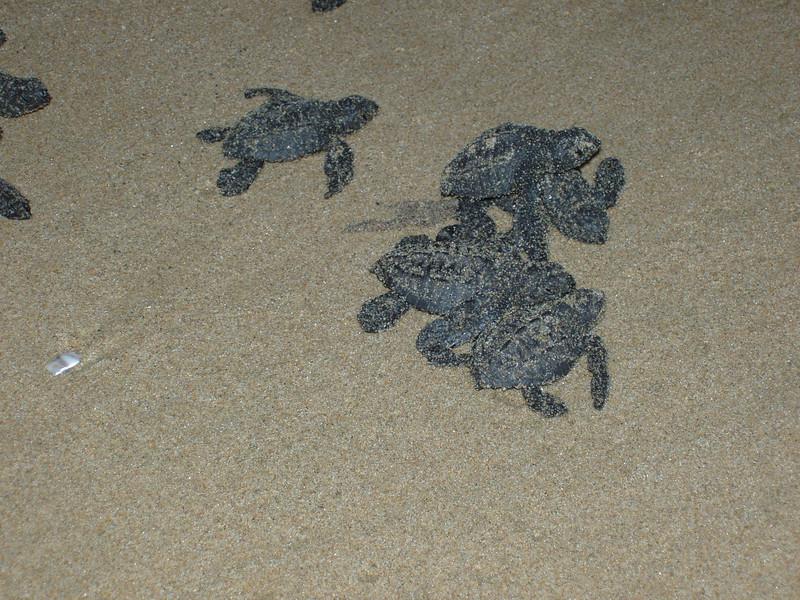 2007-11-30-0034-Las Alamandas in Jalisco, Mexico with Hahns-Sea Turtles Hatched from Rescued Eggs at Las Almandas.jpg