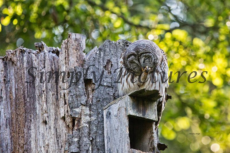 Owl  (23)