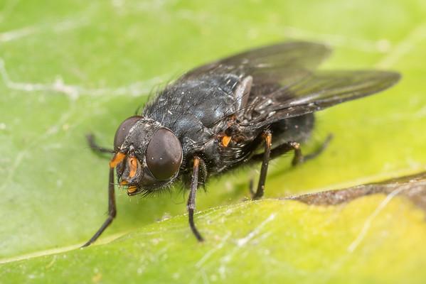 Calliphoroides antennatis