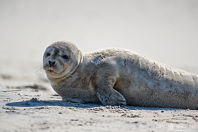 Seals Sunbathing on Hatteras Island, Outer Banks
