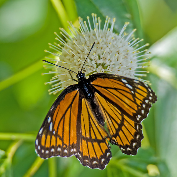 Viceroy Butterfly on Button Bush