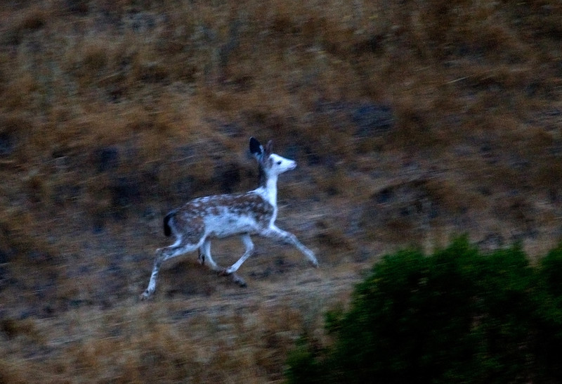 San Rafael. Unusual sighting this morning in murky predawn light, Blacktailed deer-piebald, 071808