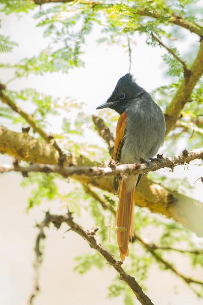 African Paradise Flycatcher - Female - Lake Nakuru Naional Park, Kenya