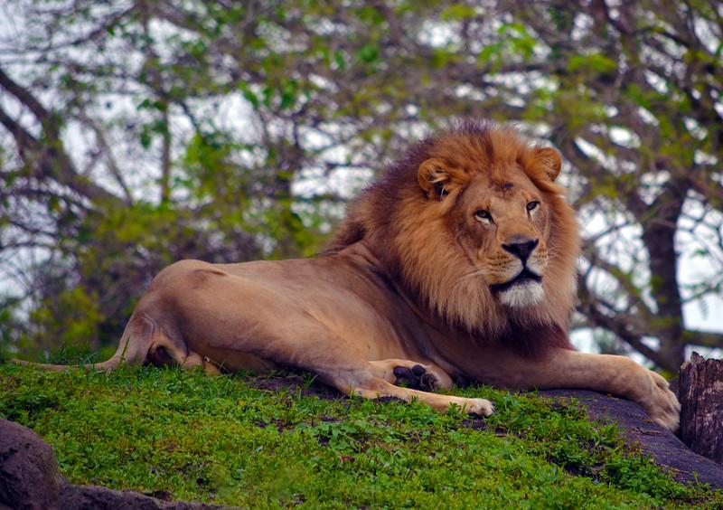 Day 4: Male lion seen on Kilimanjaro Safaris at Disney's Animal Kingdom, photo by Dave Parfitt