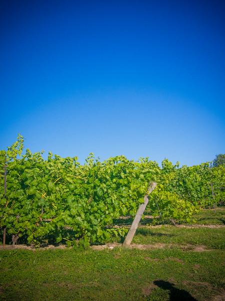 georgian hills vineyard 2.jpg