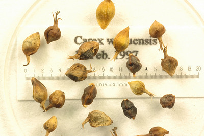 Carex wahuensis