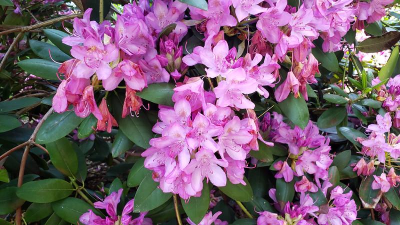 Ontario-Mississauga-PortCredit-RhododendronGarden-08.jpg