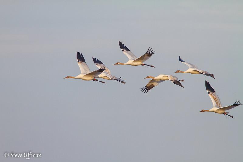 20120207-_MG_2726Whooping_Cranes_White_Lake-Edit.jpg