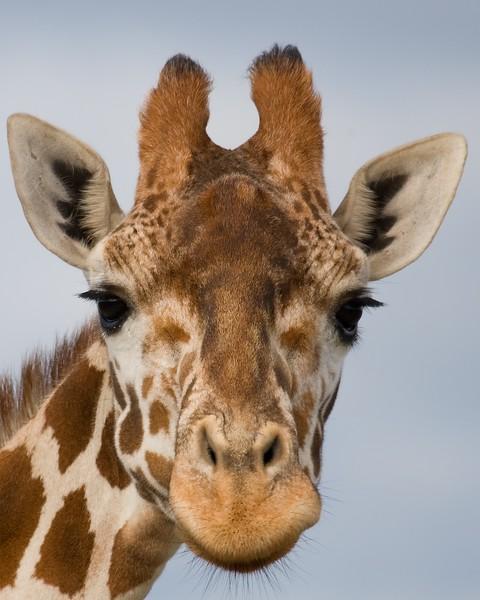GiraffeP.jpg