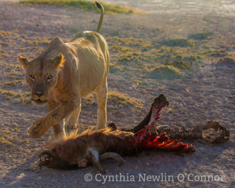 Cat Fight and More - 4 - Prey Down.jpg