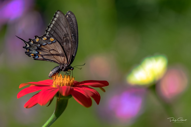 """Eastern Tiger Swallowtail"""