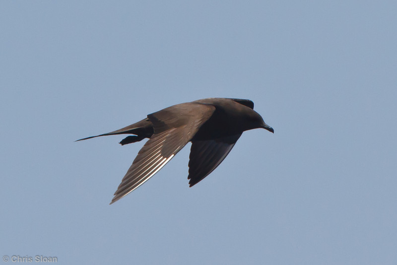 Parasitic Jaeger dark morph at pelagic trip off Hatteras, NC (06-02-2011) - 509.jpg