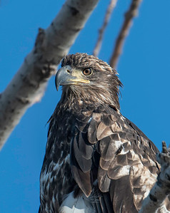 Sandusky River Eagles