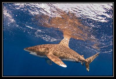 Oceanic White Tip Sharks Gallery