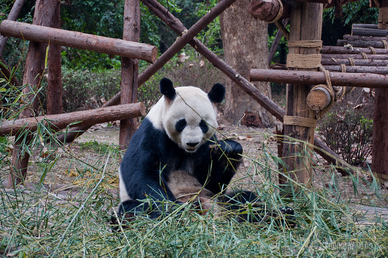 Giant_Panda_eating_Chengdu_Sichuan_China.jpg