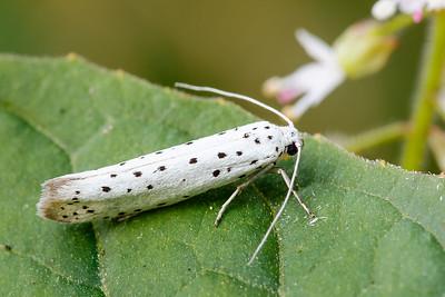 Yponomeutidae