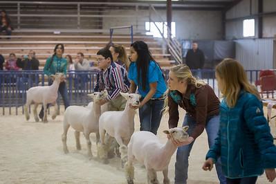 2015 Bexar County Livestock - Lambs