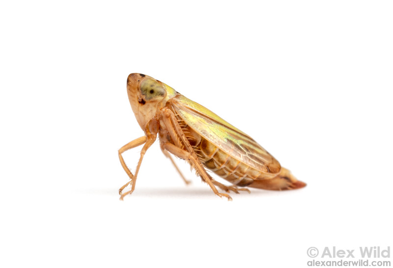 Stirellus bicolor