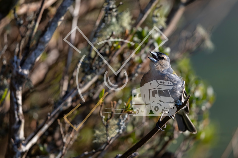 Singing Azorean Chaffinch also called Azores finch (fringilla coelebs moreletti) a subspecies of the common chaffinch (Fringilla coelebs).