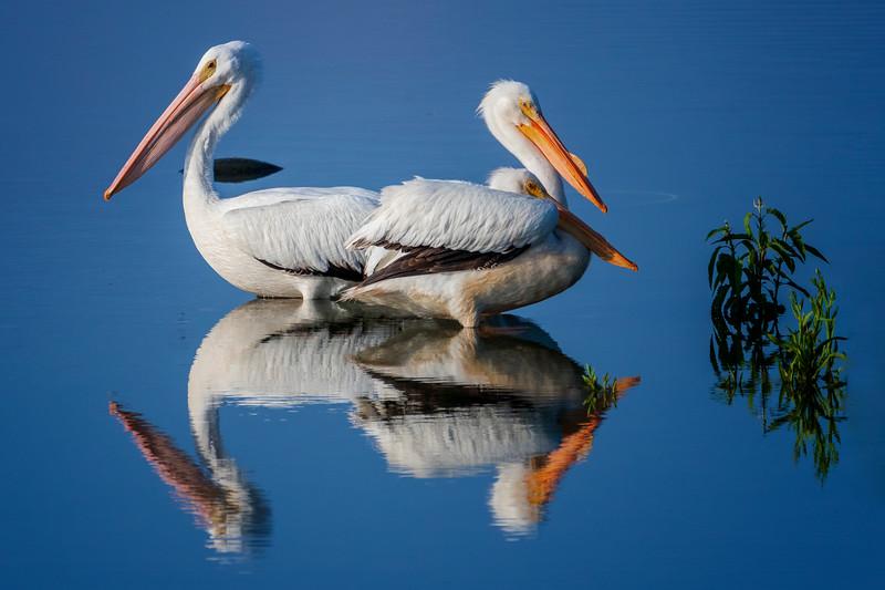 6.8.19 - Beaver Lake Fish Nursery: American White Pelicans