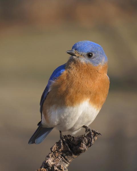 sx50_bluebird_ben_boas_cr2_dpp_061.jpg