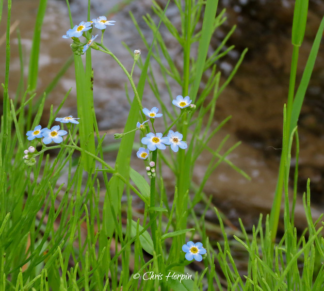 Forget -Me - Not's