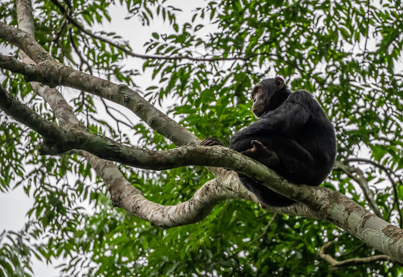Uganda_T_Chimps-900.jpg