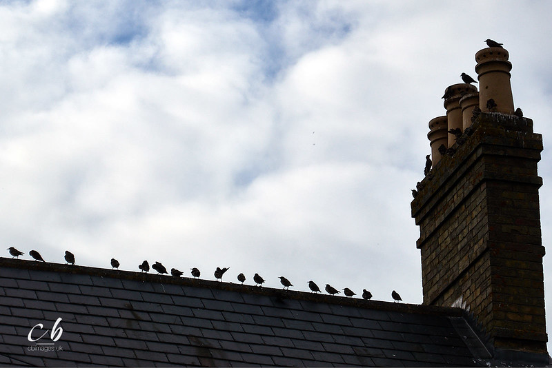 _1000305 Starlings on roof ridge.jpg