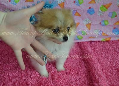 2015 Pomeranian Puppies
