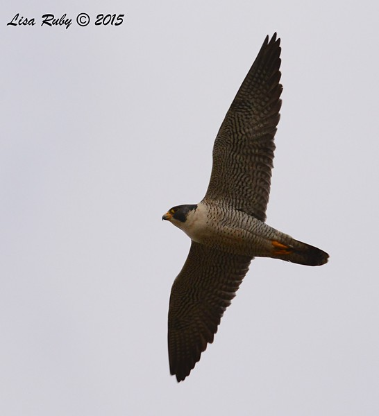 Peregrine Falcon - 2/19/15 - Sycamore Canyon Rd, Poway