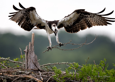 Ospreys of the Atchafalaya Basin and Lake Martin