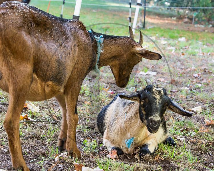 Goats-222.jpg