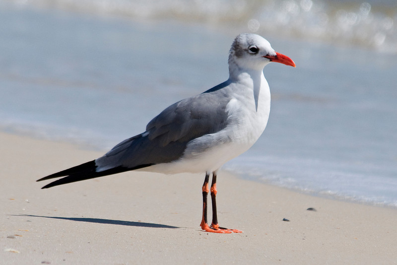 Gull - Laughing - aberrant plumage - St. George Island State Park, FL