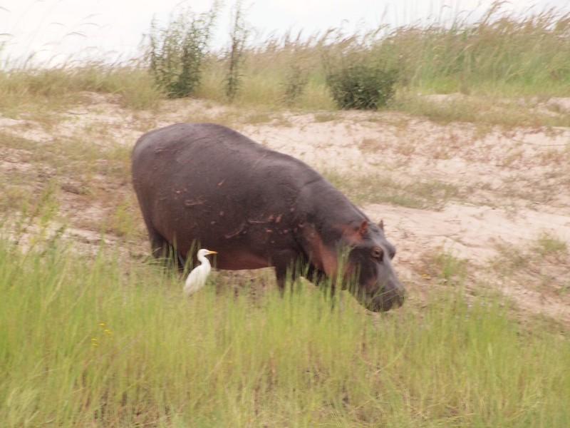 A most dangerous hippo? - Lisa Swenson
