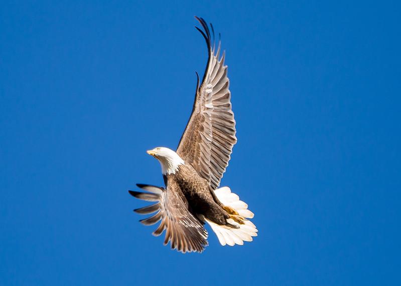 Bald eagle aerial acrobatics