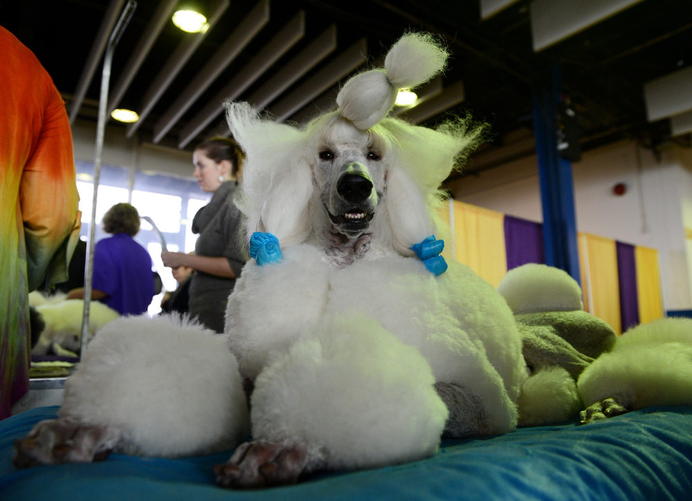 . Owen, a standard Poodle, is groomed before judging at the Westminster Kennel Club Dog Show February 11, 2013 in New York. STAN HONDA/AFP/Getty Images