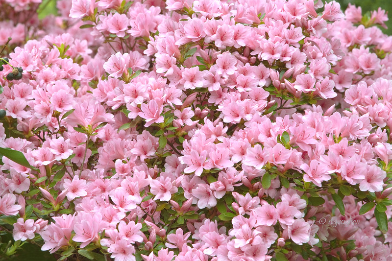 FloweringShrubs_Azalea-Pink_0446.jpg