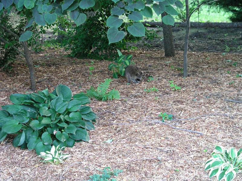 2008-06-23 Three Baby Raccoons (4).jpg