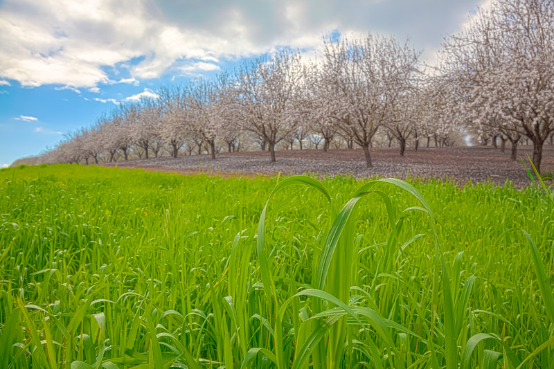 Spring blooming garden of almond trees