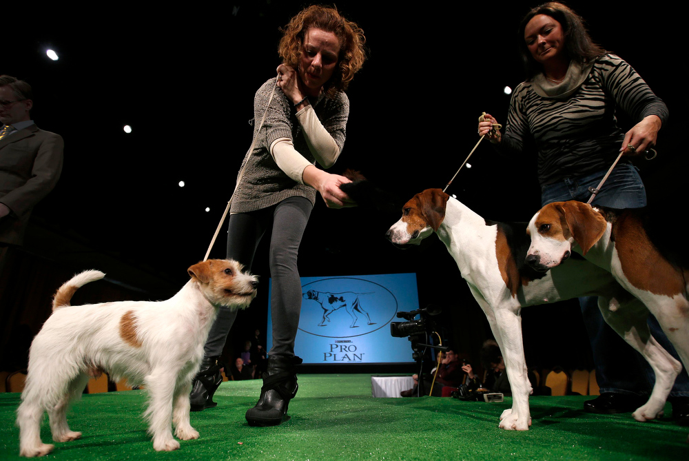 . Perla, a Russell Terrier (L) looks over at Xcetera (C) and Meg (R) Treeing Walker Coonhounds as they are introduced during a press conference ahead of the 137th Westminster Kennel Club Dog Show in New York, February 7, 2013. Russell Terriers and Treeing Walker Coonhounds as the two new breeds in the 137th Westminster Kennel Club Dog Show which will feature some 2,721 dogs and will be held in New York City February 11 and 12, 2013.   REUTERS/Mike Segar