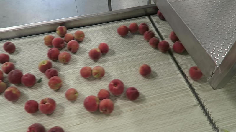 Peaches on Packing Line.MP4