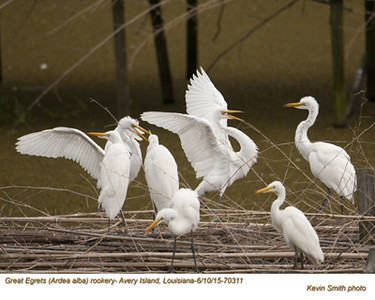 Great Egrets Rookery70311.jpg