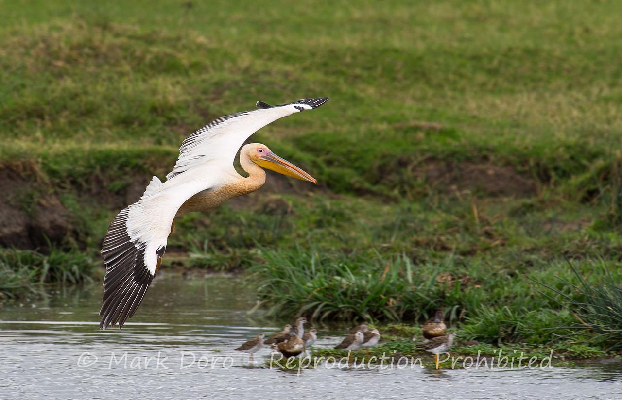 Great White Pelican, Ngorongoro, Crater, Tanzania